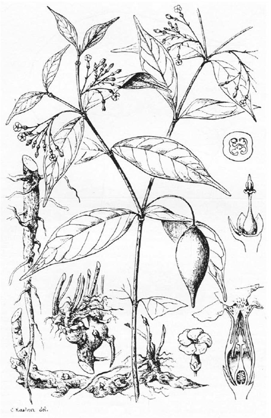 ibogaine-plant